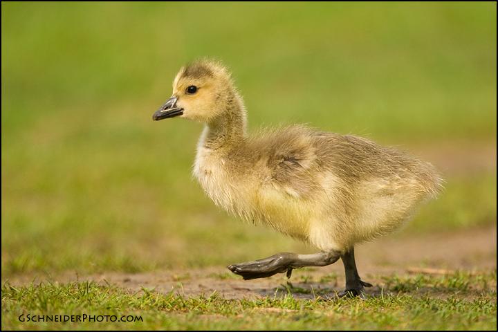 Canada Goose Gosling Walking