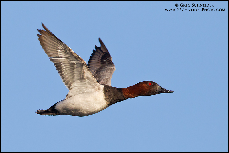 Canvasback Duck Hen