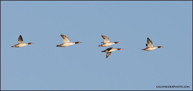 Photo :: Common Merganser flock  Flock