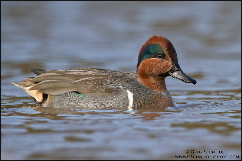 Green Winged Teal Drake