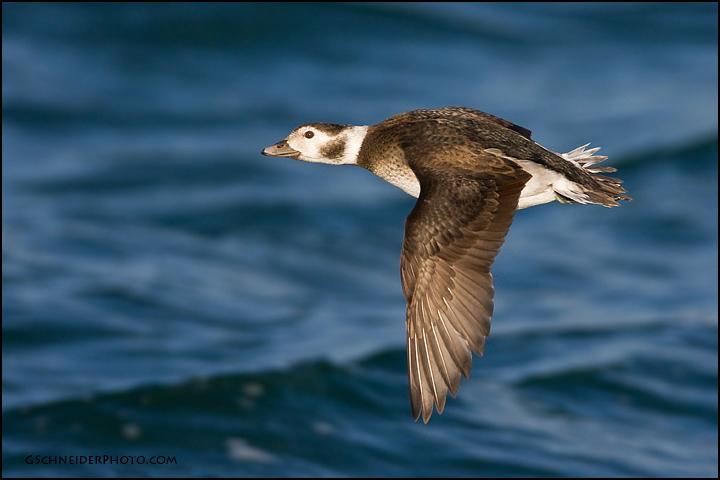 Long Tailed Duck Hen In Flight