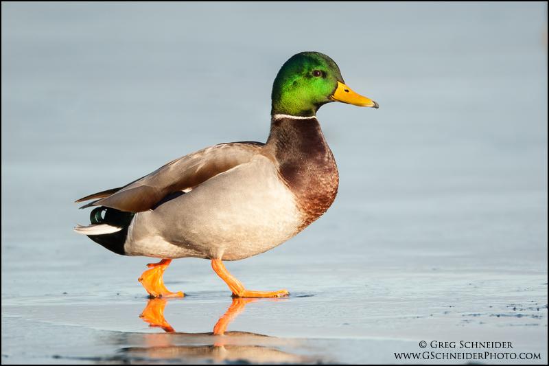 Mallard Drake Walking On Ice
