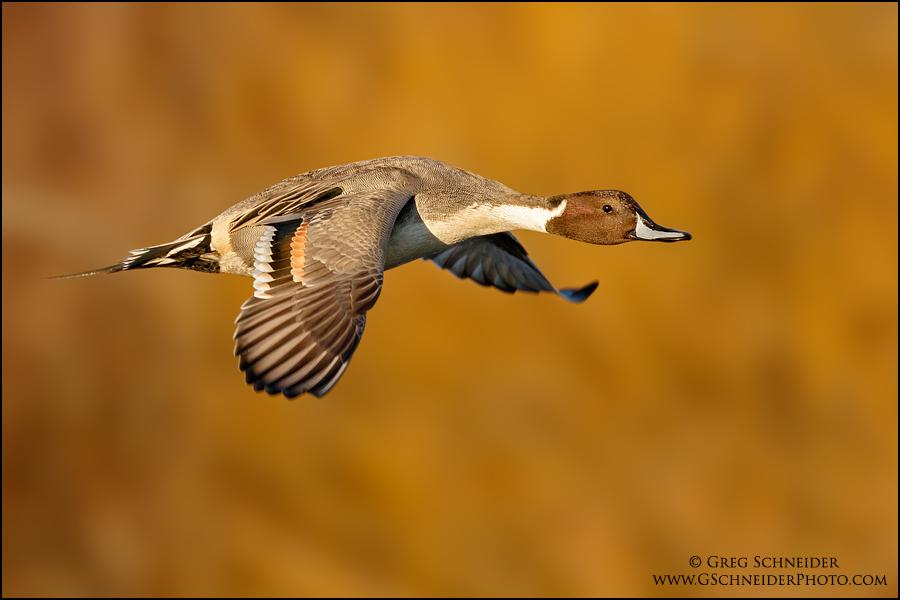 Northern Pintail drake in flight