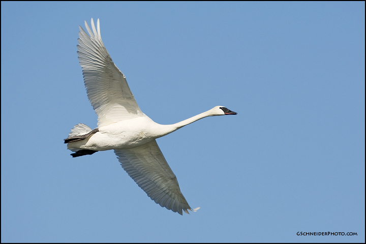 Photo :: Trumpeter Swan flying
