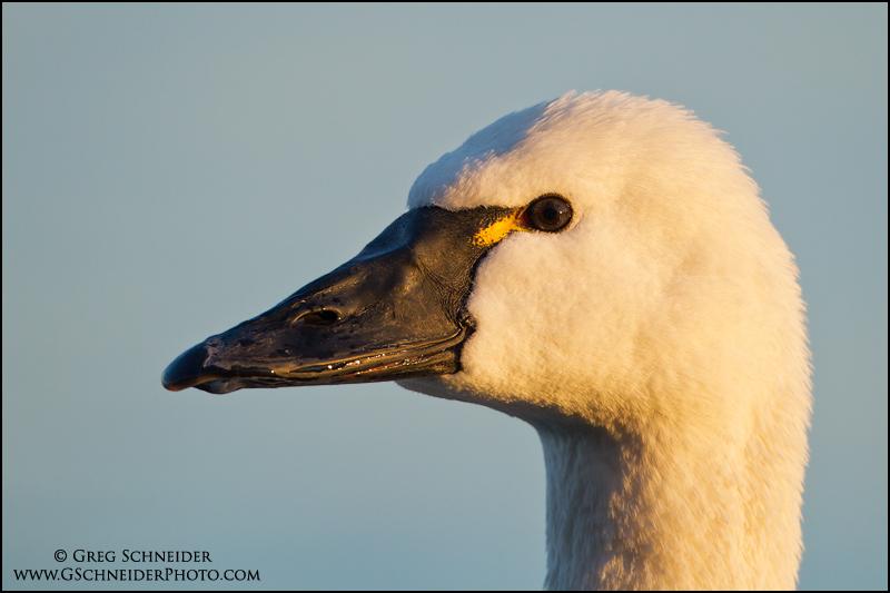 Tundra Swan portrait