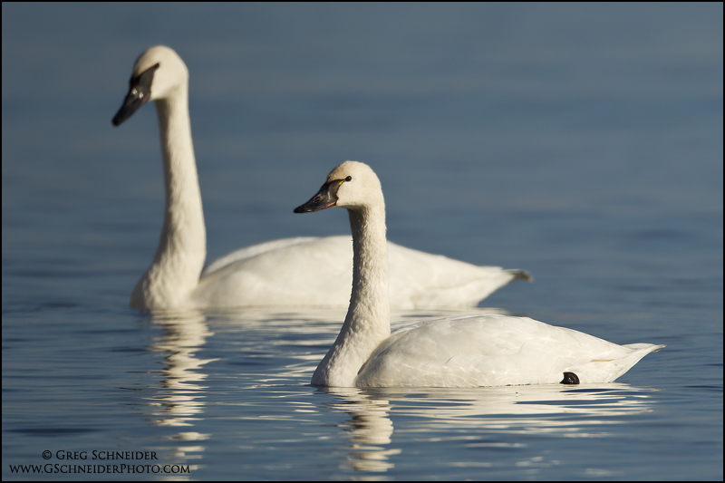 Tundra Swan (foreground) and Trumpeter Swan (click to enlarge)