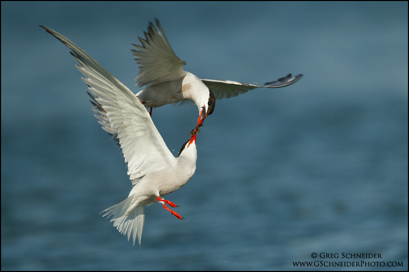 Common Tern courtship flight