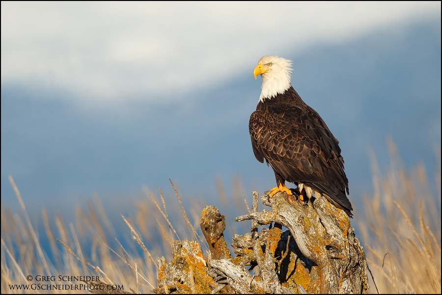 Bald Eagle on Driftwood