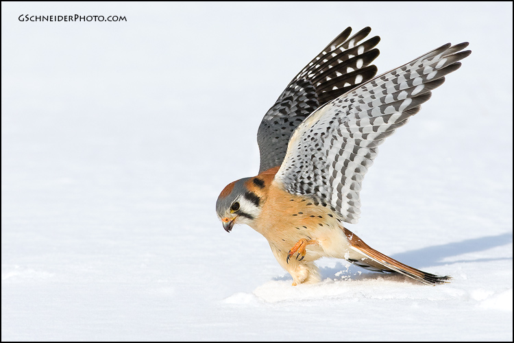 Male American Kestrel in the snow