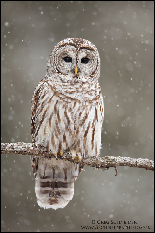 Barred Owl In Heavy Snow