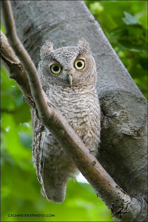 Fluffy And Downy Eastern Screech Owl Owlet
