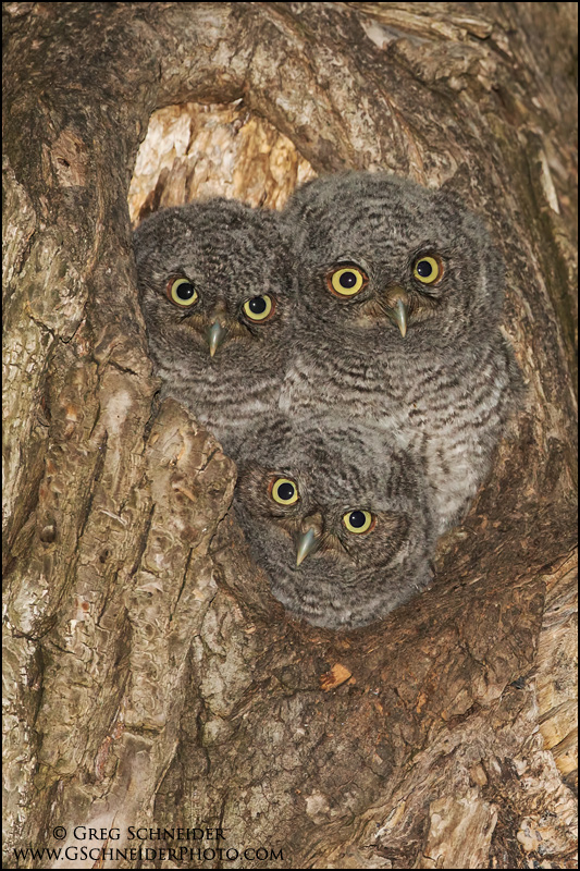 Screech Owl Young In Tree Cavity