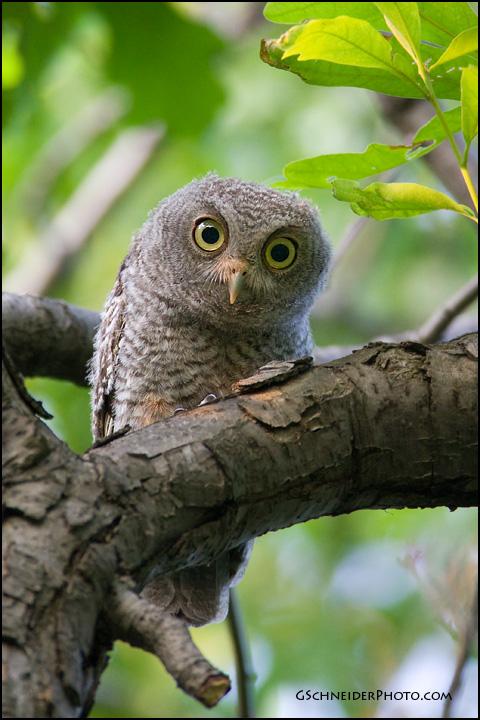 Eastern screech owl baby eastern screech owl juvenile