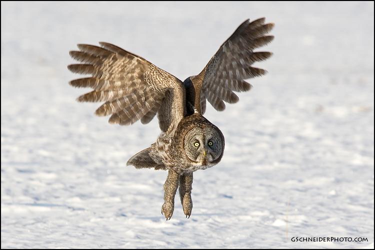 Great Grey Owl Flying Great Gray Owl in flight