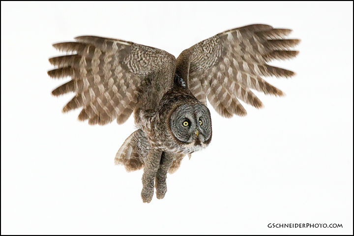 Great Grey Owl Flying Photo :: Great Gray Ow...