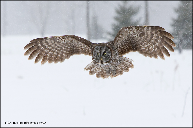 Great Grey Owl Flying Great Gray owl flying