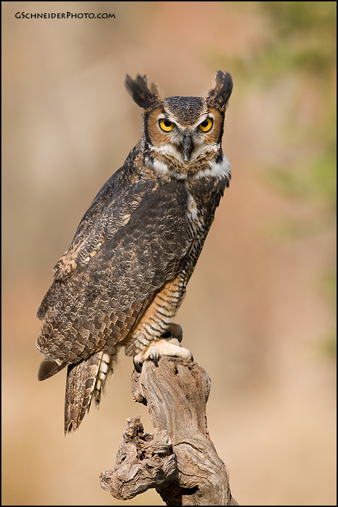 Great Horned Owl Calling