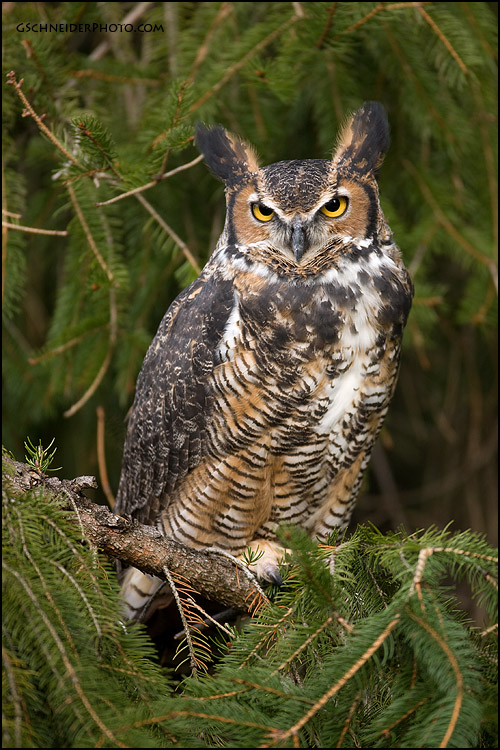 http://www.gschneiderphoto.com/gallery3/var/albums/birds/raptors/greathorned/great-horned-owl-perched-pine-tree_3K6P1929.jpg?m=1292889687