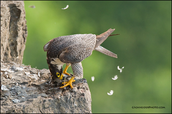 Adult peregrine plucking Spotted Sandpiper prey