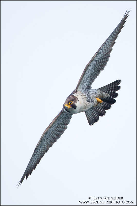 Adult peregrine banking sharply in flight