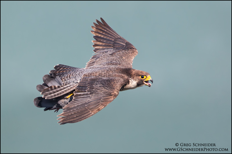 Adult peregrine in flight with pigeon prey