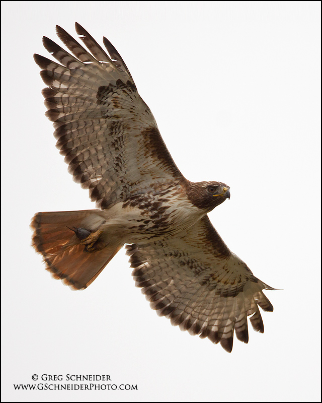 Red Tailed Hawk Flying With Prey