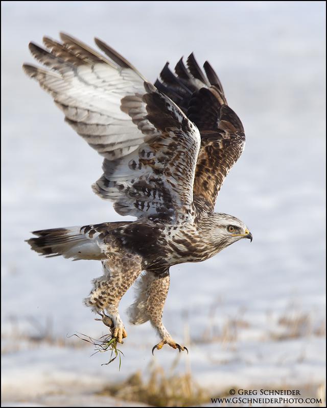 Rough Legged Hawk With Vole Prey