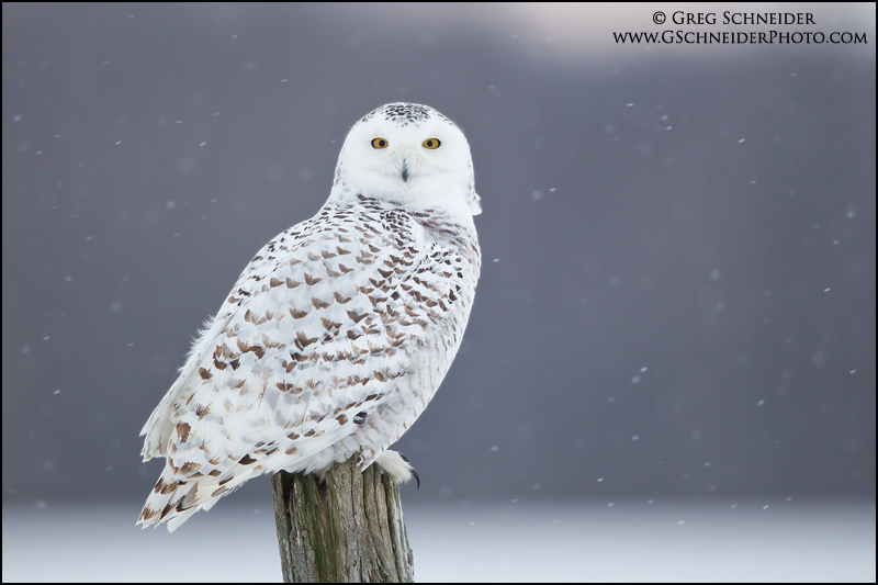 Snowy Owl Perched On Fencepost