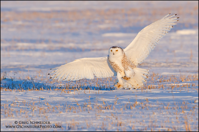 Snowy owl landing in corn field at sunset (male)