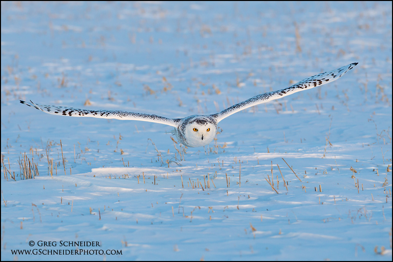 Snowy Owl hunting prey (male)
