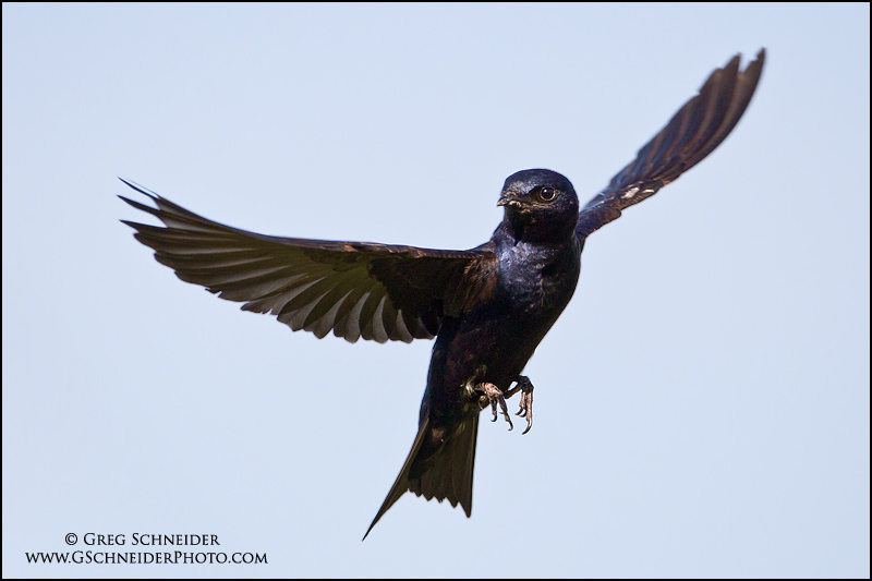 Purple Martins And Hummingbirds Purple Martin Male Hovering