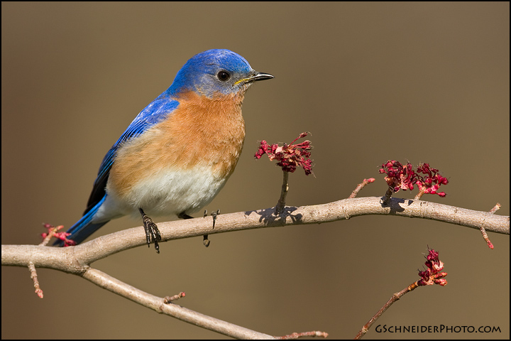 Male Eastern Eastern Bluebird Male on Maple