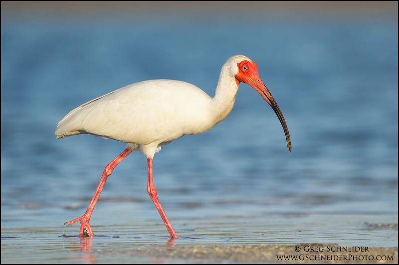 Greg Schneider… Birds Wading Birds White Ibis American White…