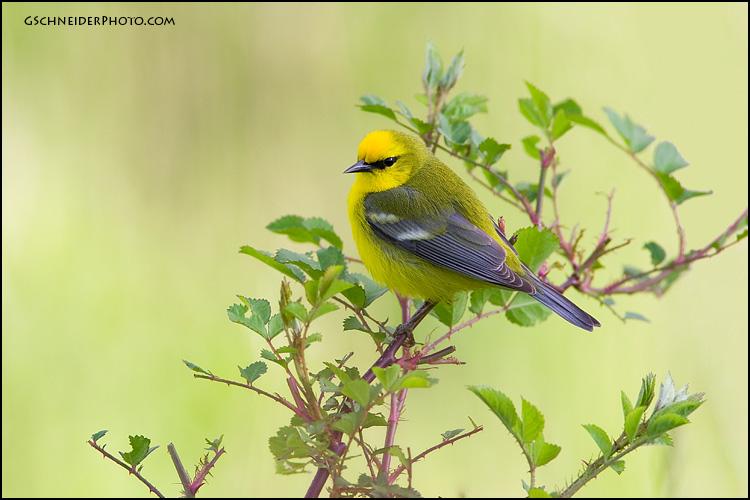Blue Winged Warbler In Habitat