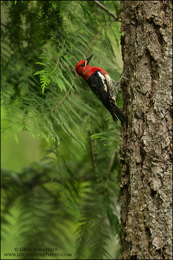 Red-breasted Sapsucker in Habitat