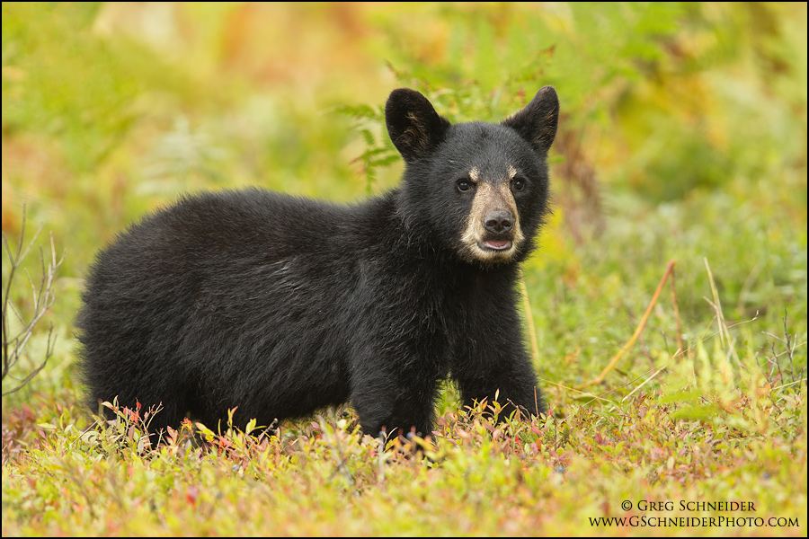 Black Bear cub eating blueberries
