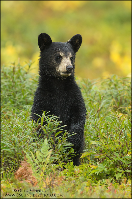 Black Bear cub standing in a blueberry field