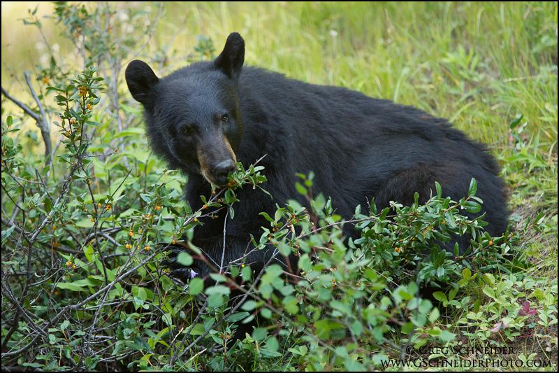 Black Bear foraging on buffalo berries