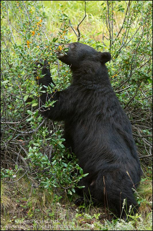 Black Bear Pawing At Berries