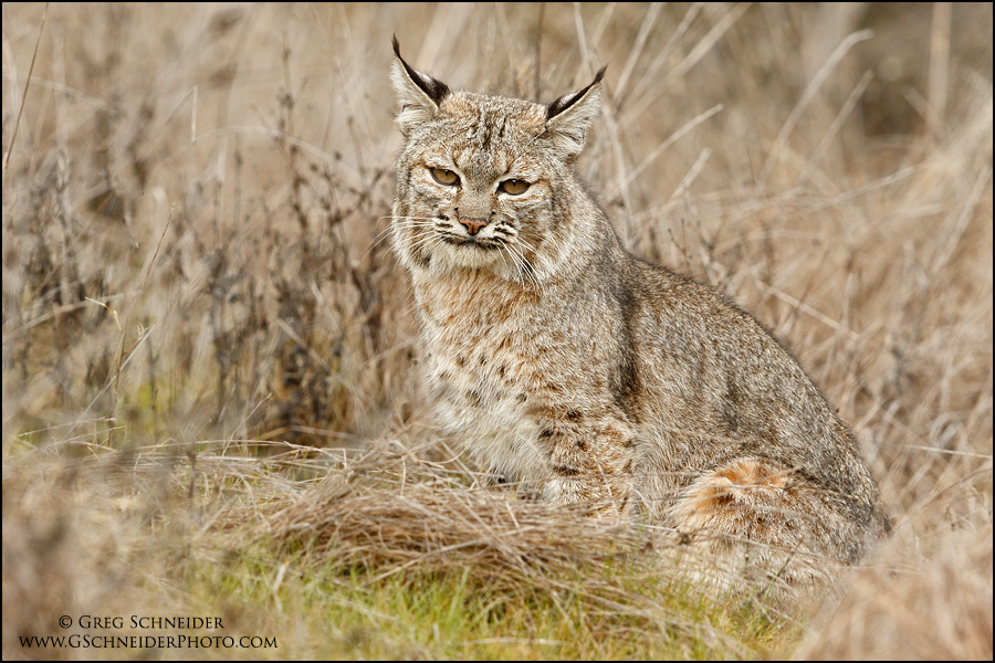 Bobcat resting in grasses