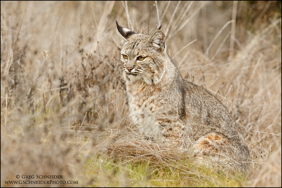 Adult Bobcat resting in grasses