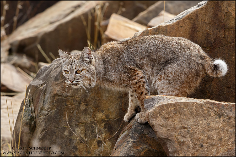 Bobcat stalking on rocks