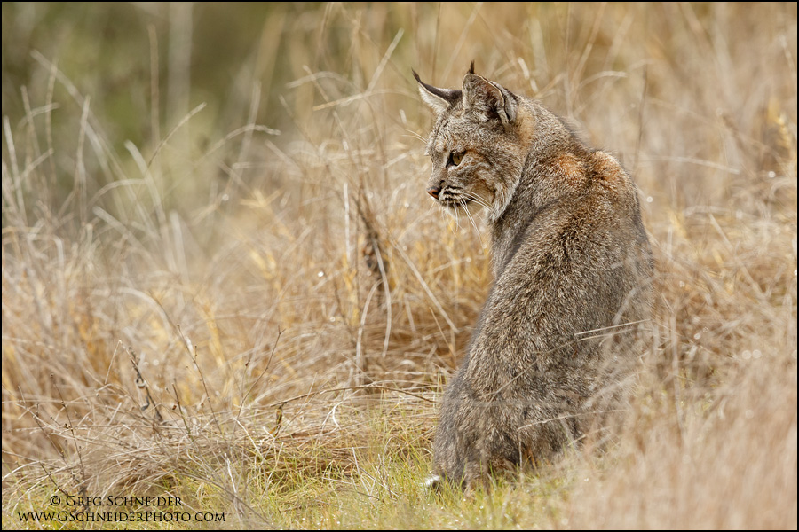 Bobcat scanning meadow