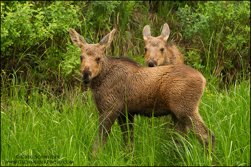 Cute moose calf - photo#10
