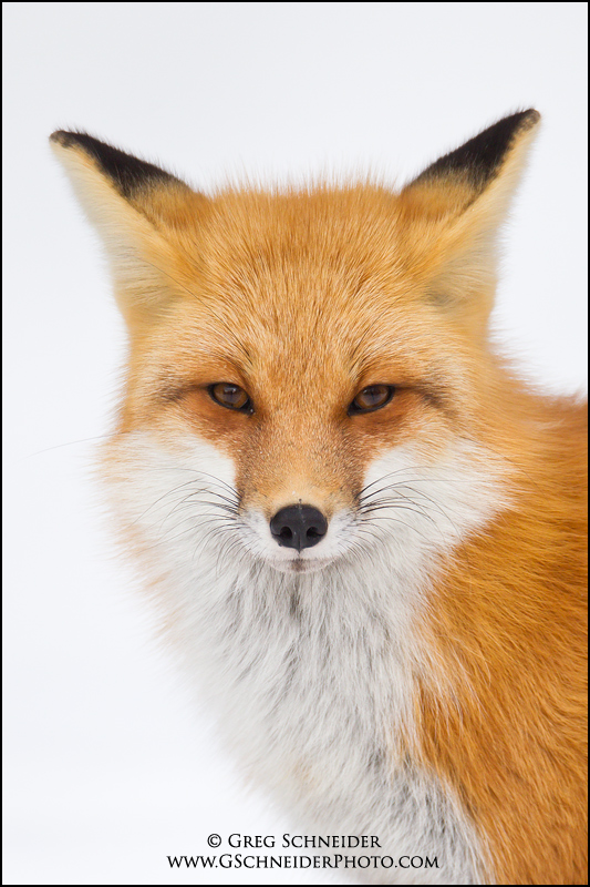 Red Fox Portrait - National Geographic Cover March 2011