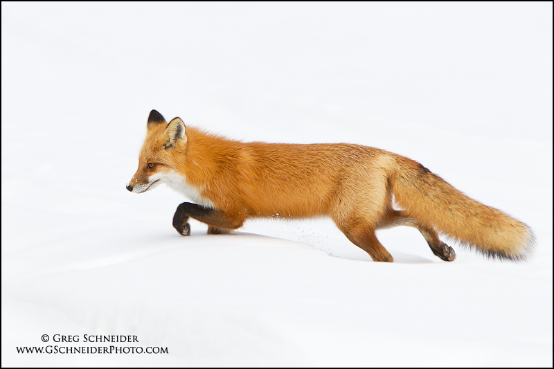 Red Fox stalking prey