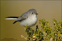 Kinglets & Gnatcatchers