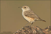 Rock Wren profile