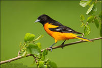 Baltimore oriole (male) perched on mulberry