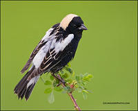 Bobolink male profile